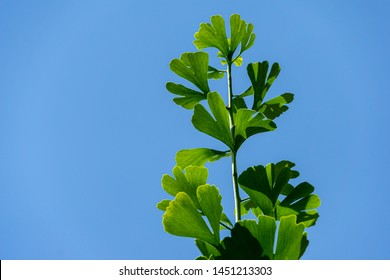 Close-up green leaves of Ginkgo tree (Ginkgo biloba), known as ginkgo or gingko on blue sky background. There is a place for your text.  Nature concept for design