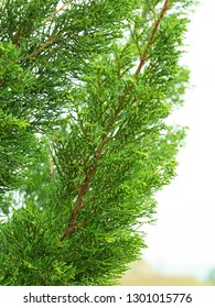Close-up green leaves of Hollywood Juniper or Juniperus chinensis L. 'Kaizuka'; one of beautiful pine for garden decoration.