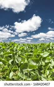 Close-up of the green leaves of a soybean plant field under a beautiful blue sky on a summer day