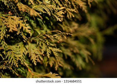 Closeup of green leaves of Thuja trees. Thuja occidentalis is an evergreen coniferous tree. Platycladus orientalis also known as Chinese thuja