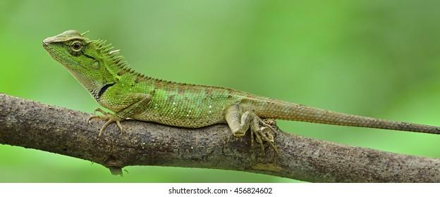 Closeup Green lizard on the tree