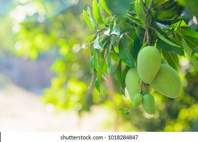 Closeup of green mango hanging,mango field,mango farm. Agricultural concept,Agricultural industry concept.