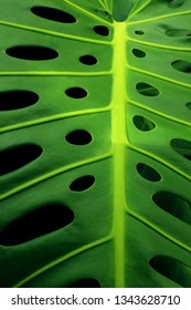Closeup of a green monstera leaf showing its typical holes