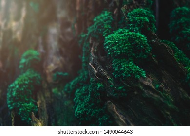 Closeup green moss. Beautiful green moss on the floor in the rain forest. Bright Green moss grown up cover the old wood with wet moisture. Edited in soft tone vintage style for background image.