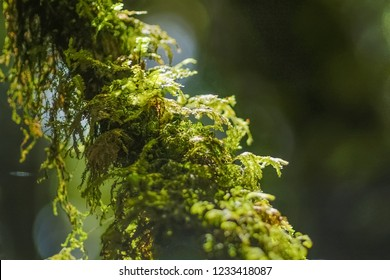Close-up green moss and fern growing on the branch of pine, Ang Ka Nature Trail, Doi Inthanon, Chiang Mai, Thailand.