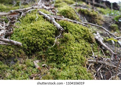 Close-up of green moss in spring with sticks, leaves and twigs on forest floor in Midwest