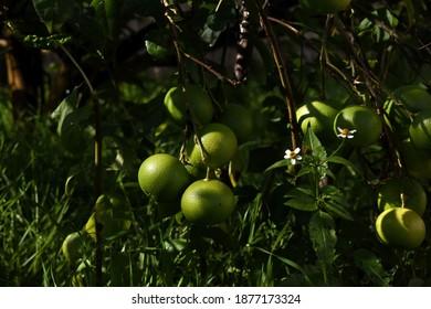 Cierre de naranjas verdes en proceso de maduración. Las ramas del naranjo casi tocan el suelo debido al peso de las frutas. Naturaleza y fondo del jardín de color verde.