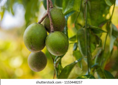 Close-up of green oval Ambarella fruits (Spondias dulcis) hanging on a tree in Malaysia. Also known as June Plum, the fruit can be eaten raw or made into juice, preserves, jams or flavorings.