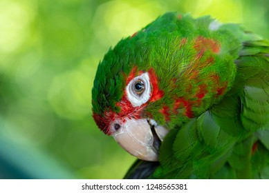 Closeup Green parrot