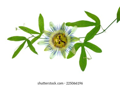closeup of green passionflower branch with tendrils and flower head is isolated on white background