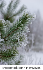 close-up of green pine needles in winter, with snow and rime frost