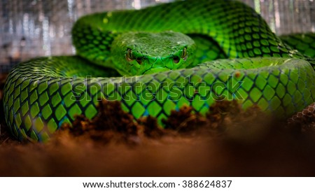 Closeup of green pit viper on brown ground starring at his observer directly in the eyes