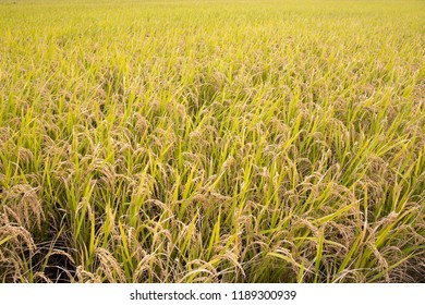 Close-up green rice field