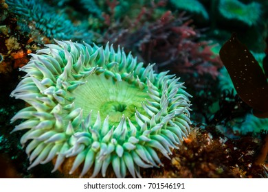 Closeup of a green sea anemone surrounded by branching coral and a tube sponge