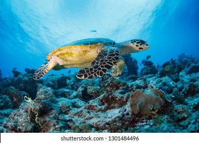 Closeup of green sea turtle on coral reef