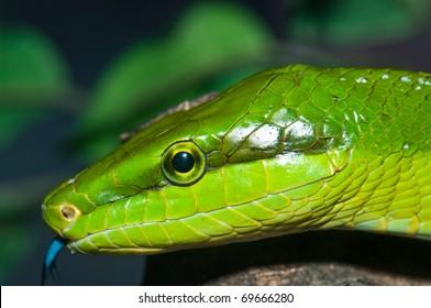 Closeup of green snake, Thailand.