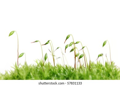 Close-up of green sprouting moss isolated on white background
