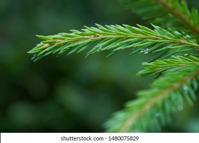 Close-up of green spruce branch of Picea abies. Also known as Norway spruce or European spruce.