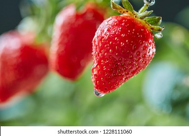 Closeup of green stem with juicy strawberries with water drops in a farm garden. Organic vitamin berry