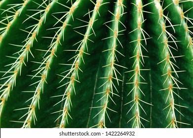 Closeup of Green Succulent Cactus Plant Sharp Spikes