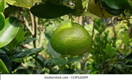 Close-up of Green Tangerine  Growing From Tree with Forest Background