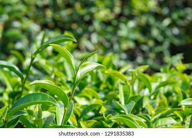 Close-up of green tea leaves in tea plantation.
