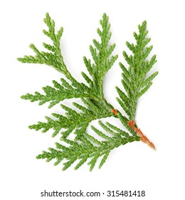 Closeup of green twig of thuja the cypress family on white background
