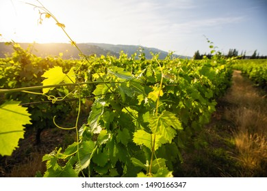 Closeup of green vineyard at valley in Portugal.