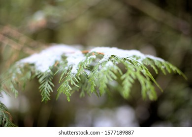 Closeup of green Western Red Cedar leaves (Thuja plicata) covered in a little bit of white snow, in December