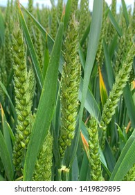 Close-up of green wheat on a sunny day