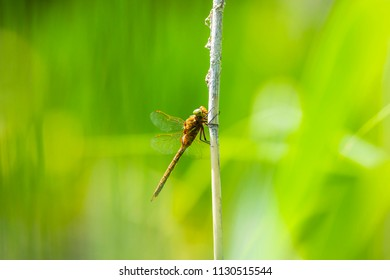 Closeup of a green-eyed hawker dragonfly Aeshna isoceles, resting in reeds. This is one of only two brown hawkers found in Europe.