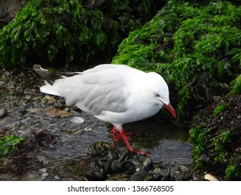 Closeup of grey backed seagull foraging amongst seaweed covered rocks, Petone beach Wellington harbour New Zealand