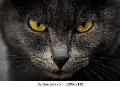 Close-up of a grey cat staring, with symmetrical yellow eyes
