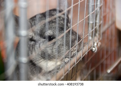close-up grey chinchilla in the cage
