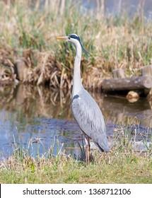 Closeup of a grey heron bird standing at the water