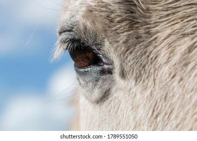 Closeup of a grey horse's brown eye