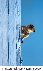 Close-up of grey Langur monkey on rooftop
