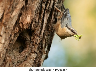 Close-up grey and orange passerine Eurasian Nuthatch, Sitta europaea caesia hanging on tree bark next to nest hole with caterpillars in beak. Springtime, Europe, Czech republic.