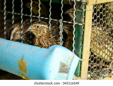 Close-up Grey Partridges in cages