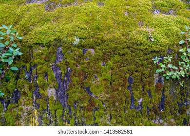 Close-up of a grey rock covered with moss (Bryophyte), small flowerless plants that typically grow in dense green clumps or mats, often in damp or shady locations, Liguria, Italy