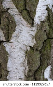 Close-up of the grey and white bark of a birchwood tree, usable as a texture or background.