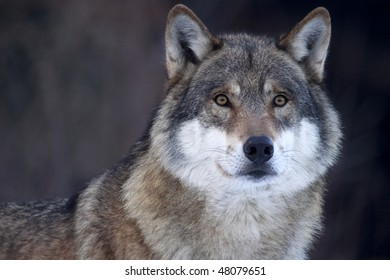 Closeup of a Grey wolf (Canis lupus) in her soft, warm fur.