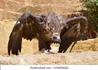 Closeup of griffon vulture (Gyps fulvus) open wings on ground seen from front