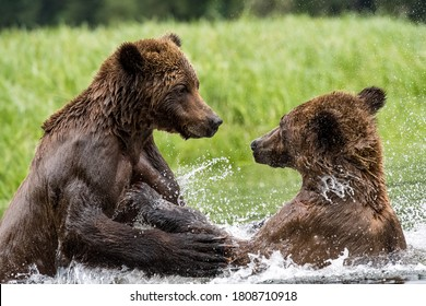A closeup of Grizzly bears playing together in water in the Khutzeymateen Grizzly Bear Sanctuary, Canada