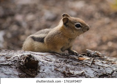 Close-up of a ground squirrel on a rock.