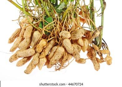 Closeup Of Groundnut Plants
