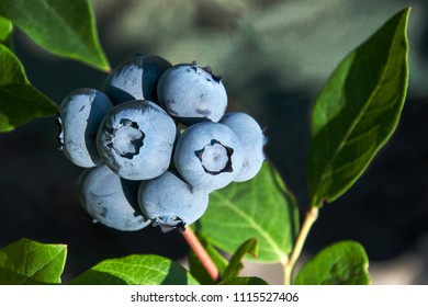 Close-up of a group of blueberries ripening on the shrub in our garden