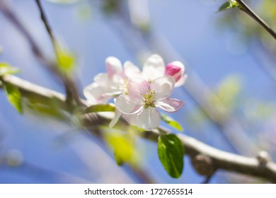 Close-up of a group of cherry blossoms that are born on a branch that crosses the image diagonally. The focus is on the white flowers and the background is totally out of focus