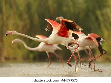 Close-up, group of colorful Greater flamingos, Phoenicopterus roseus taking off from water level against blurred background. Splashing water from running flamingos. Camargue, France.