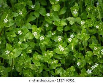 Closeup of a group of common chickweed with small white blossoms